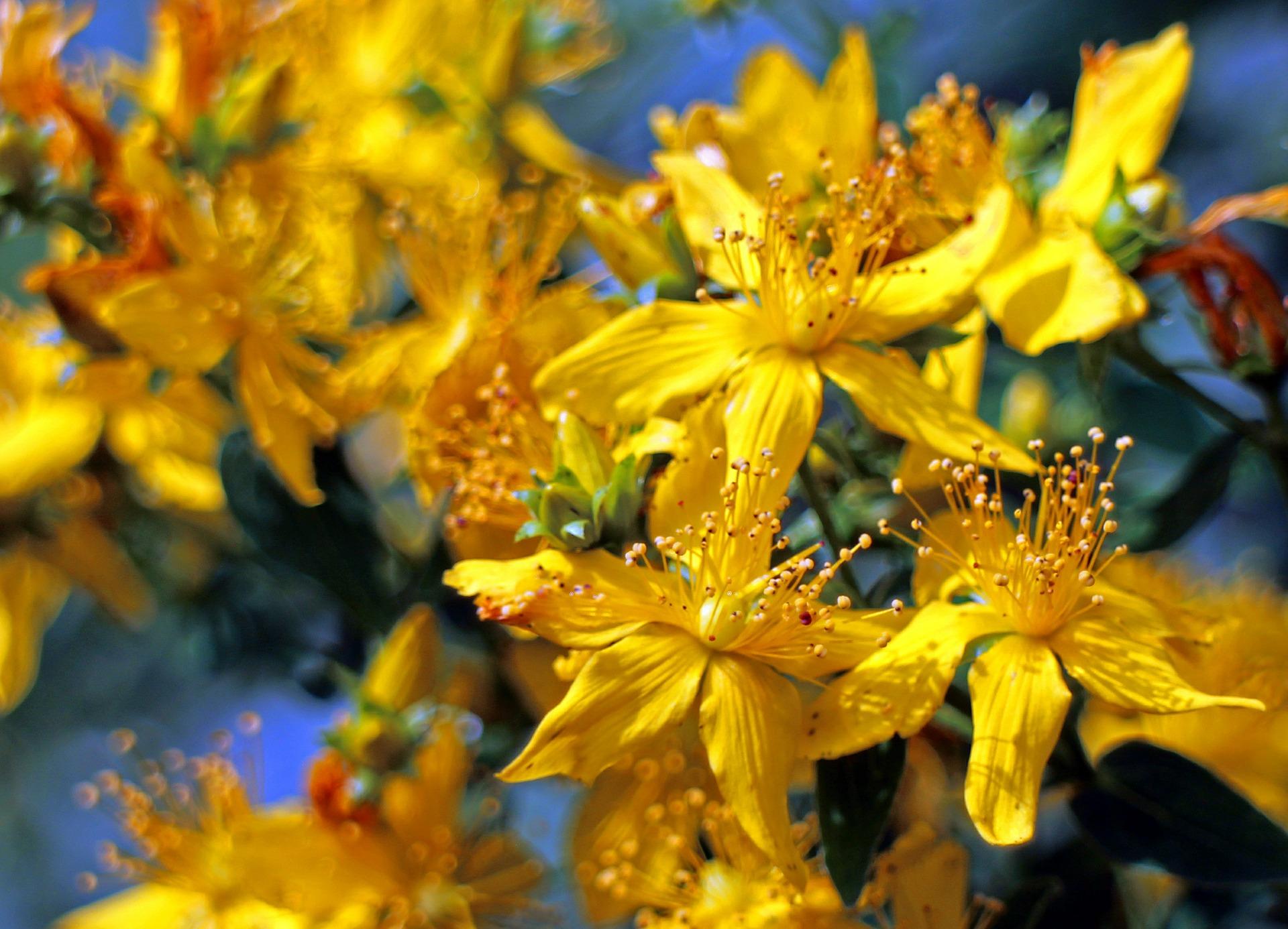 Le millepertuis – La fleur de Saint-Jean